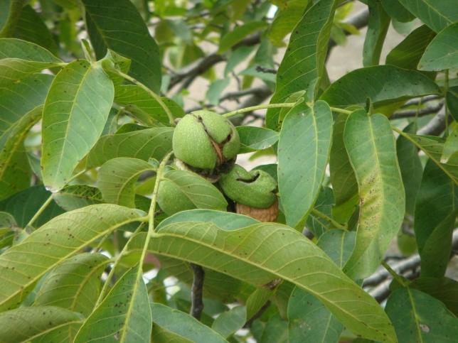 """(Nueces """"partidas"""" en el árbol. Foto: M.S.)"""